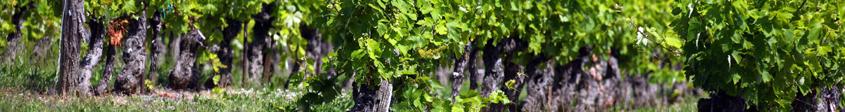 The sustainable cultivation of vines