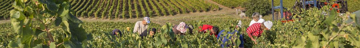 Harvesting at Domaine Vayssette