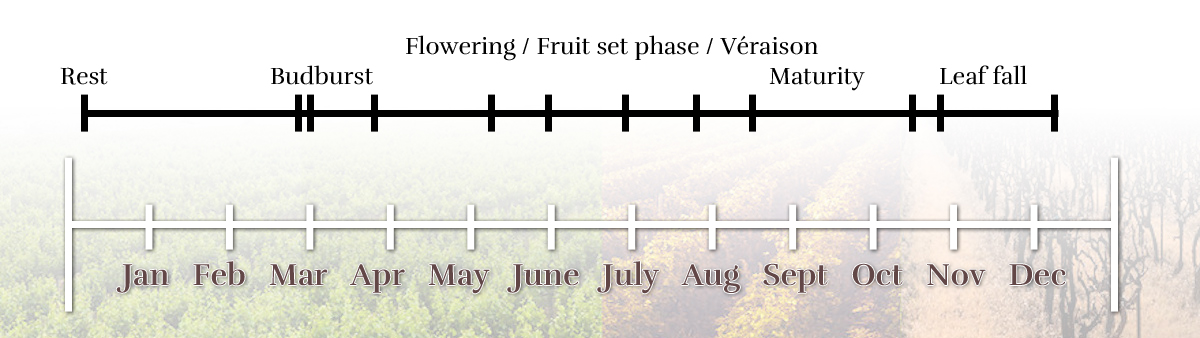 Vegetative cycle of the vine